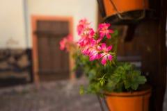 Rosa Blumen in hängendem Topf Stockbild