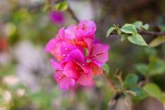 Rosa Blumen-Hintergrund stockfoto