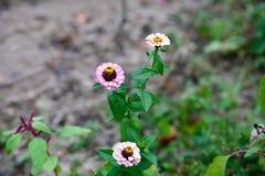 Rosa Blumen im Garten Helenium Stockbilder