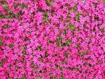 Rosa Blumen im Garten, Litauen Stockfotografie