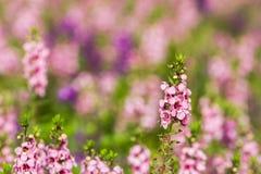Rosa Blumen im Garten mit rosa Hintergrund Lizenzfreies Stockbild