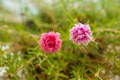 Rosa Blumen im kleinen Garten Stockbilder
