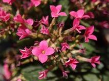 Rosa Blumen im Makro Stockbilder