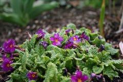 Rosa Blumen im Morgen-Tau Lizenzfreie Stockfotos