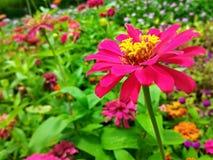 Rosa Blumen im Seitengarten Lizenzfreies Stockbild