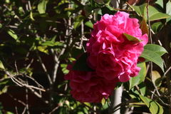Rosa Blumen im Tageslicht Stockbild