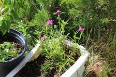 Rosa Blumen im Topf stockfotografie