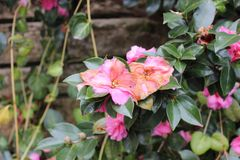 Rosa Blumen im Winter Stockfotografie