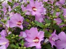 Rosa Blumen in meinem Garten Lizenzfreie Stockfotografie
