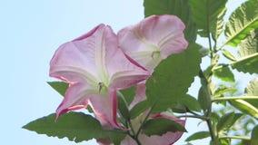 Rosa Blumen mit blauem Himmel im Hintergrund stock footage