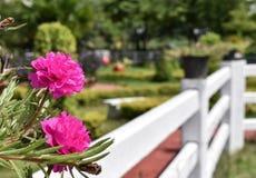 Rosa Blumen mit dem Zaun Lizenzfreie Stockfotos