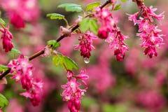 Rosa Blumen mit Mitte-Wasser-Tröpfchen Stockfotografie