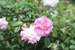 Rosa Blumen nahe grünem See in der Türkei stockbild