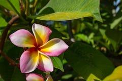 Rosa Blumen oder Plumeria obtusa im Garten Stockfotografie