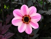 Rosa Blumen-Schwarz-Hintergrund lizenzfreie stockfotos