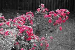 Rosa Blumen in Schwarzweiss - Vorderansicht Lizenzfreie Stockbilder