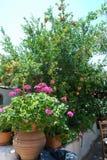 Rosa Blumen und Granatapfel wachsen in einem Garten unter einem blauen Himmel und einer heißen Sonne stockfotos