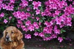 Rosa Blumen und Hund lizenzfreie stockfotos