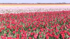 Rosa Blumen und Tulpen in den Niederlanden stock video footage
