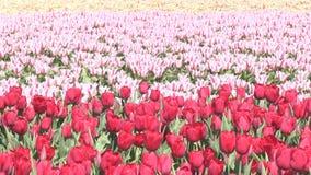 Rosa Blumen und Tulpen in den Niederlanden stock video