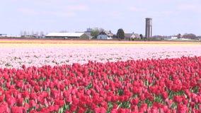 Rosa Blumen und Tulpen in den Niederlanden stock footage