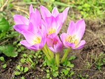 Rosa Blumen von Colchicum autumnale Lizenzfreie Stockfotografie