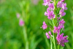 Rosa Blumen von Fireweed u. von x28; Epilobium oder Chamerions-angustifolium& x29; in Blüteniwan-Tee Stockbilder