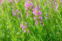 Rosa Blumen von Fireweed u. von x28; Epilobium oder Chamerions-angustifolium& x29; in Blüteniwan-Tee Stockfotos