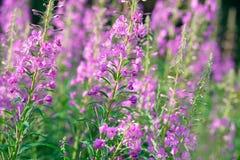 Rosa Blumen von Fireweed u. von x28; Epilobium oder Chamerions-angustifolium& x29; in Blüteniwan-Tee Lizenzfreies Stockfoto