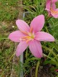 Rosa Blumenabschluß herauf Bild stockfoto
