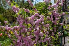 Rosa Blumenbüsche am Garten lizenzfreie stockfotografie