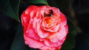 Rosa Blumenbienen Stockfotos