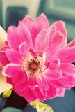 Rosa Blumenblätter Lizenzfreies Stockfoto