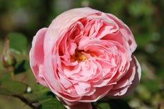 Rosa Blumenblätter Stockfotografie