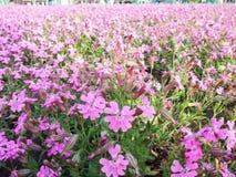Rosa Blumenblätter Lizenzfreie Stockbilder