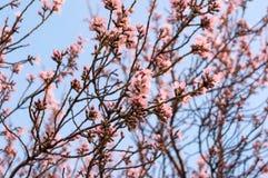 Rosa Blumenblätter auf einem blühenden Baum Stockfotografie