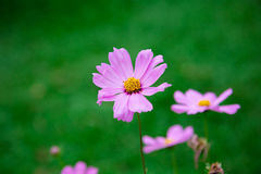 Rosa Blumenblühen lizenzfreie stockbilder