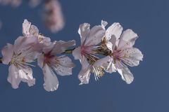 Rosa Blumenblüten Kirschblütes lizenzfreie stockfotografie