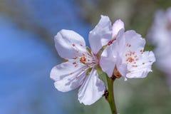 Rosa Blumenblüten Kirschblütes lizenzfreie stockfotos