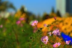 Rosa Blumenblick frisch morgens Stockfotografie