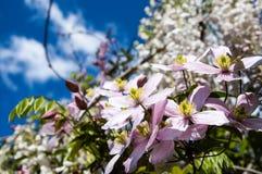 Rosa Blumengarten mit tiefem Hintergrund des blauen Himmels Stockfoto
