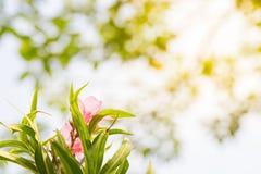 Rosa Blumenhintergrund der Unschärfe Stockbild