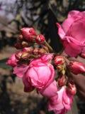 Rosa Blumenliebe Stockbilder