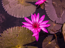 Rosa Blumenlotosblüte stockfotos