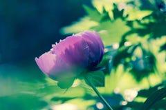 Rosa Blumenpfingstrose Lizenzfreie Stockfotografie