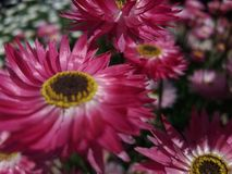 Rosa Blumensommer Lizenzfreies Stockfoto