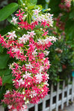 Rosa Blumenstrauß von Quisqualis Indica Blume Lizenzfreie Stockfotografie