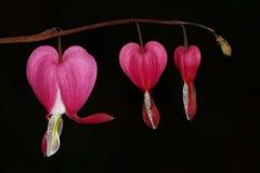 Rosa blutendes Herz lizenzfreies stockfoto