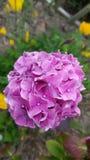 Rosa Bombe der Hortensie stockbild
