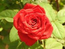 A Rosa bonita 2 imagens de stock royalty free